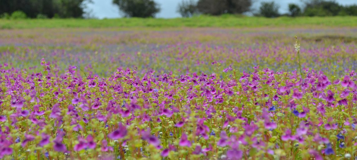 Is KaasPathar really the magical place to witness flower bloom?